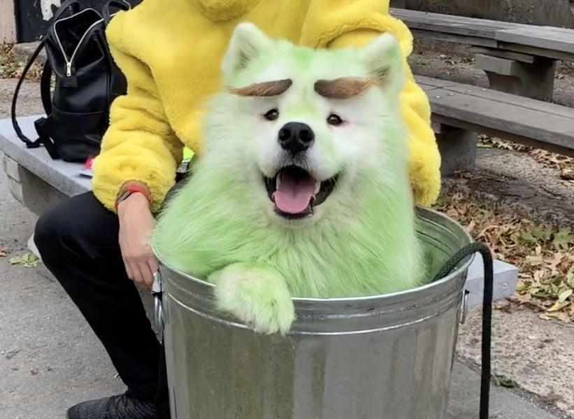 A happy looking dog that has been spray painted green and sits in a garbage can like Oscar the Grouch