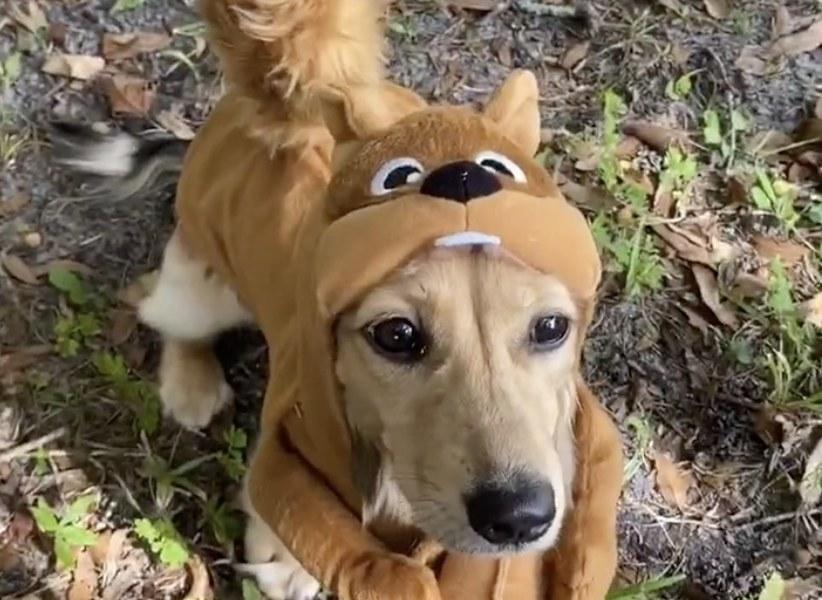 As dachshund dressed like a squirrel