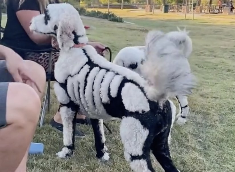 A dog that has been shaved to look like a skeleton