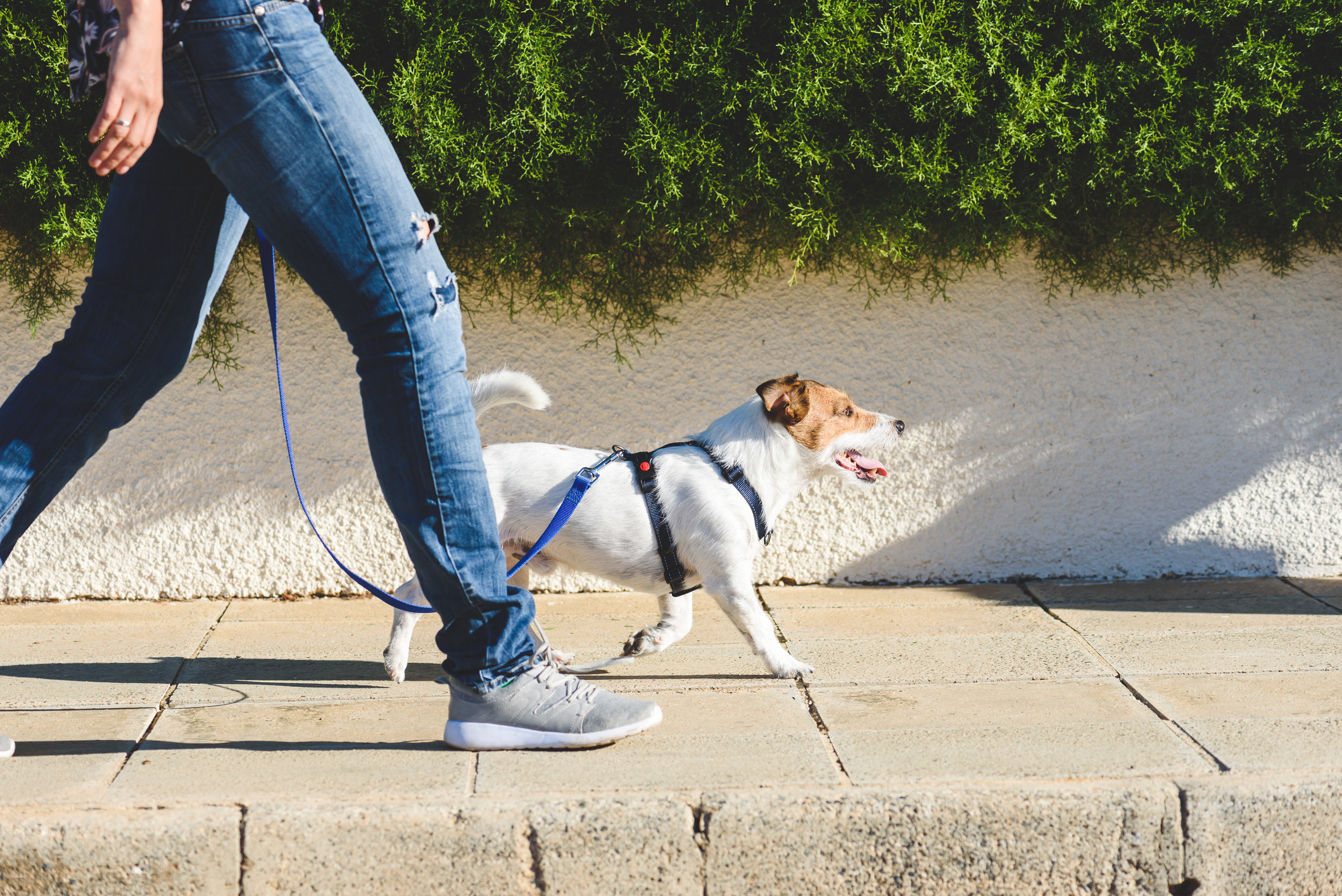 photo of someone walking their down outside, the person walking the dog is wearing grey sneakers and blue jeans while the dog looks happy being walked, the dog is wearing a blue collar