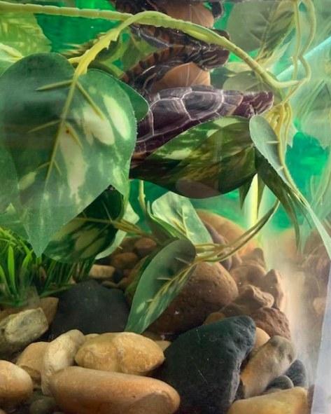 turtles swimming among fake vines
