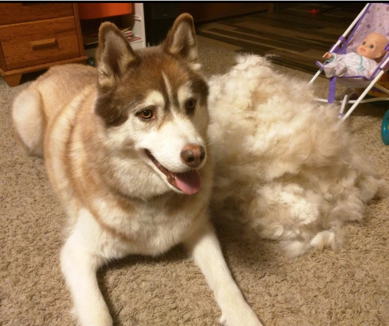 A husky next to a pile of fur removed from its coat with the FURminator