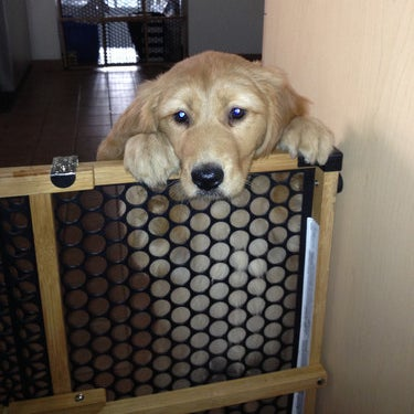 Reviewer's dog resting their head on the gate