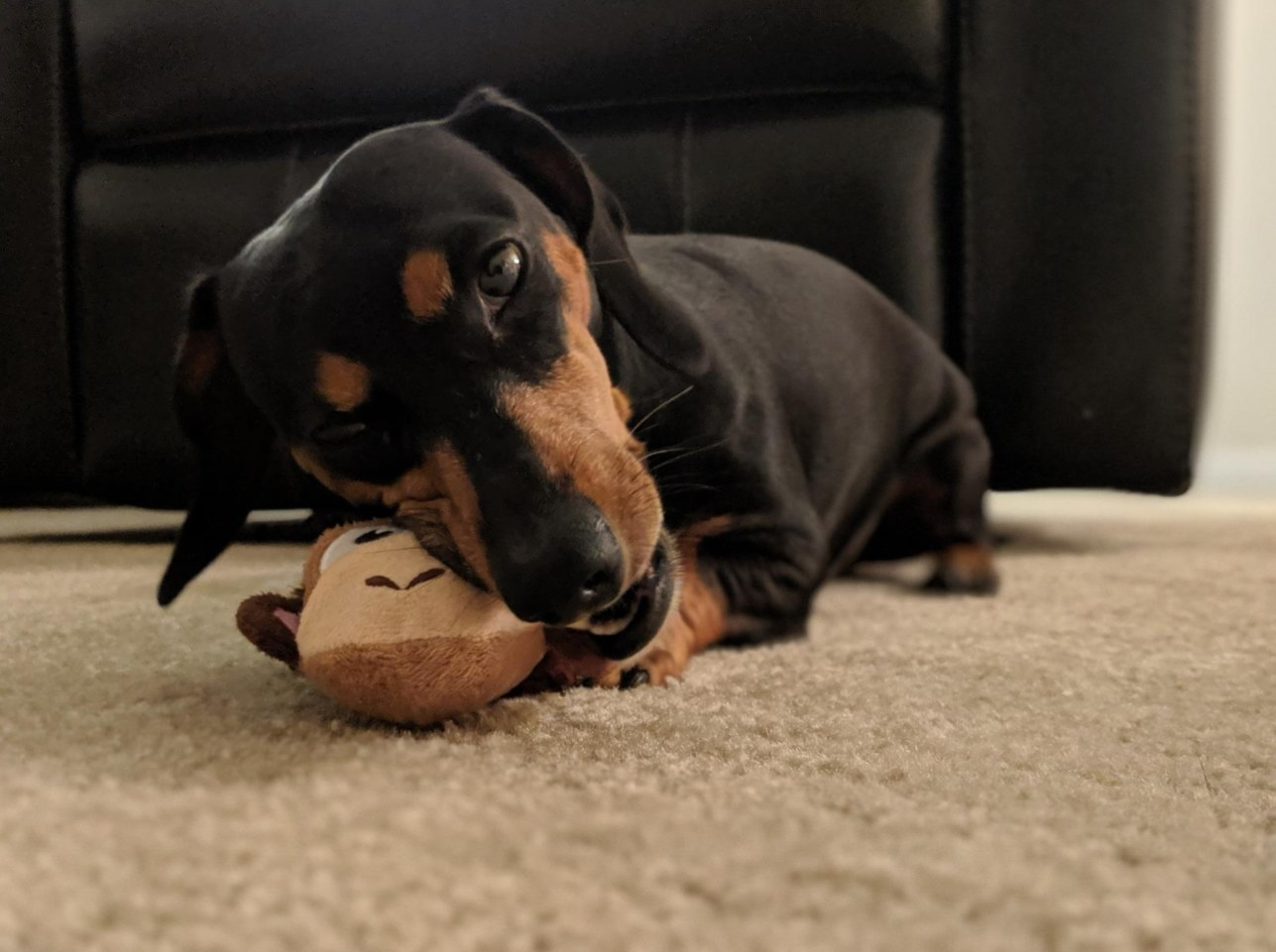 A dachshund chewing on the chew toy