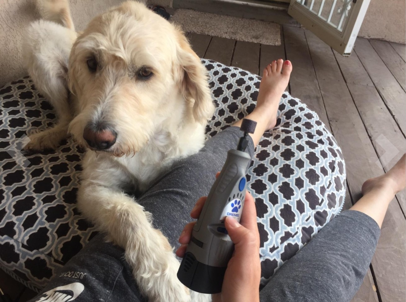 A labradoodle waiting to have its nails trimmed by the tool
