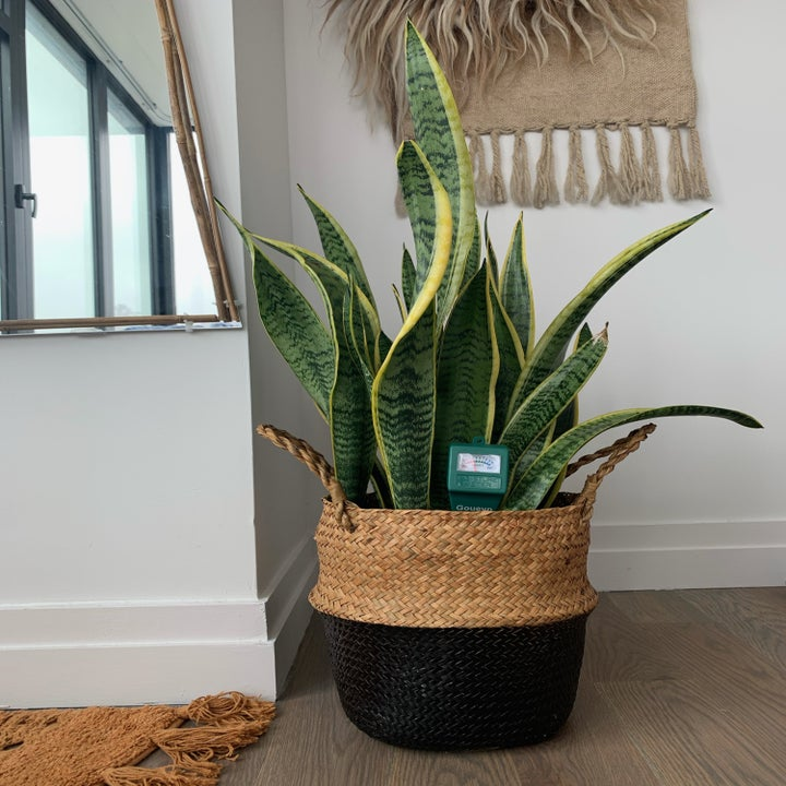 My own snake plant with the meter in the center, showing it is slightly under watered