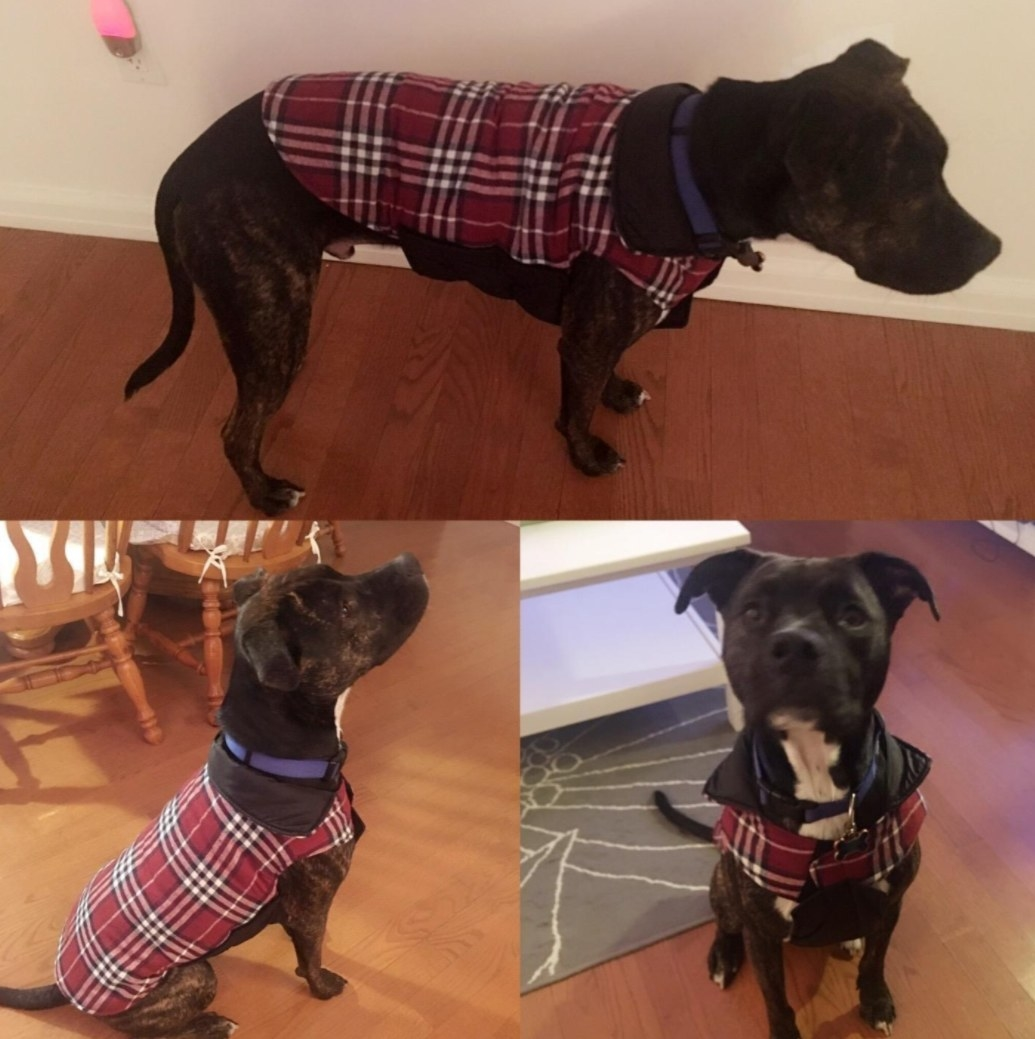 A dog shown wearing the plaid coat at various angles