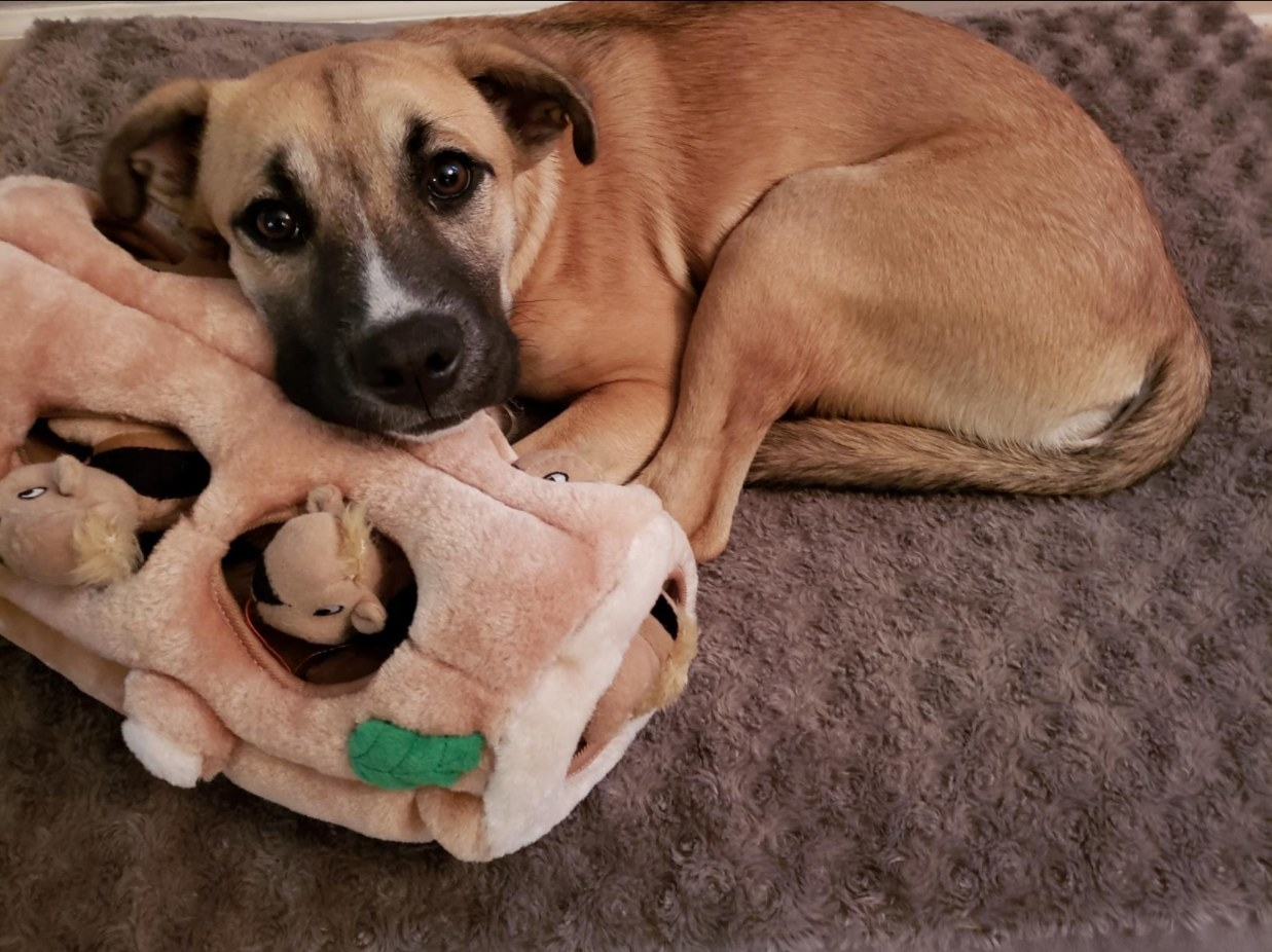 A dog snuggling up with the hide and seek plush toy