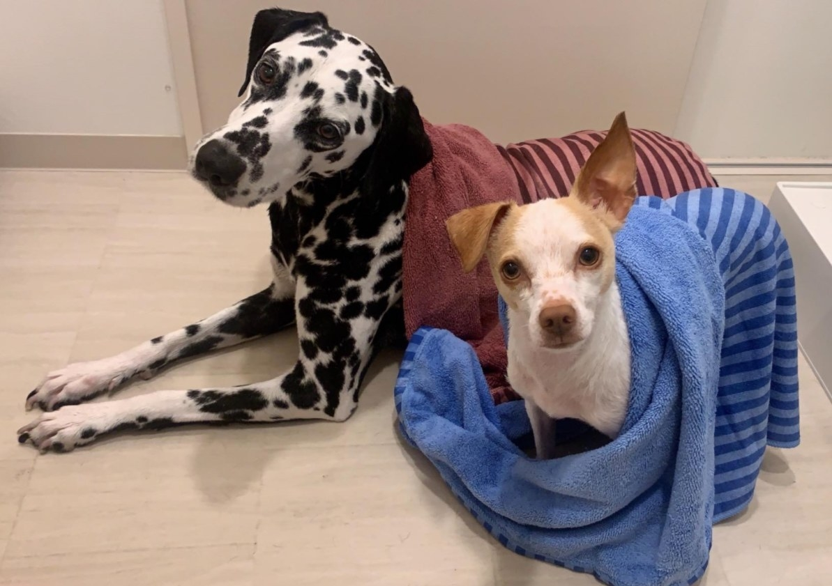 Two dogs wrapped in the pet towel