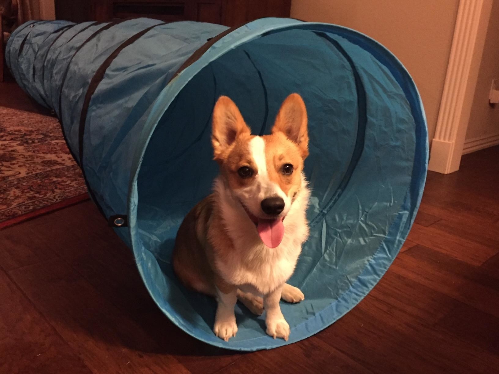 Reviewer's dog sitting in the tunnel