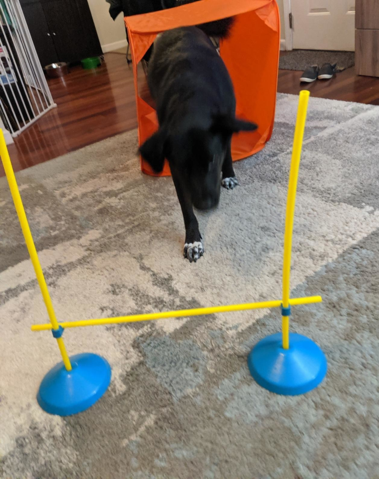 Reviewer's dog playing with the course in their living room