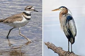 An image of a heron and a killdeer