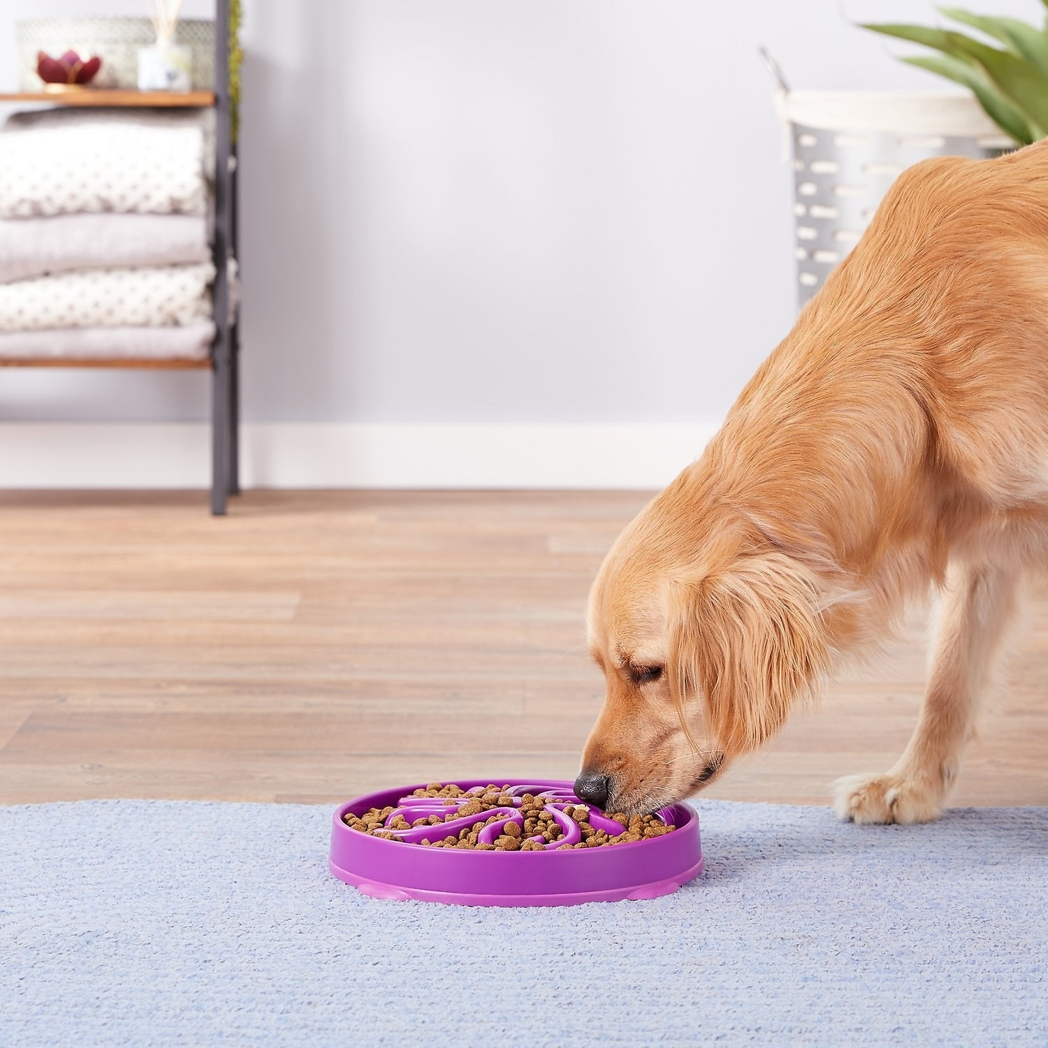 Golden retriever eating out of the ridged purple bowl