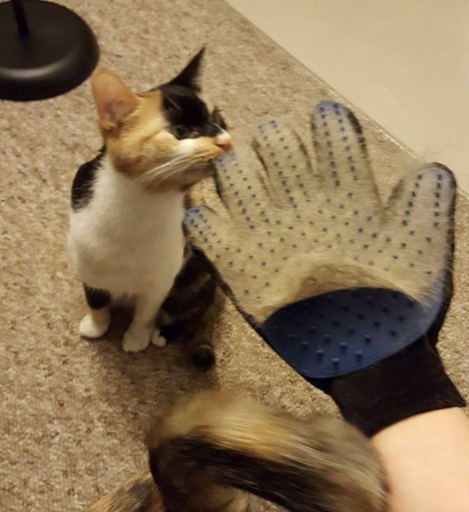 Person is holding hand out with blue grooming glove full of hair on it while a cat sniffs it