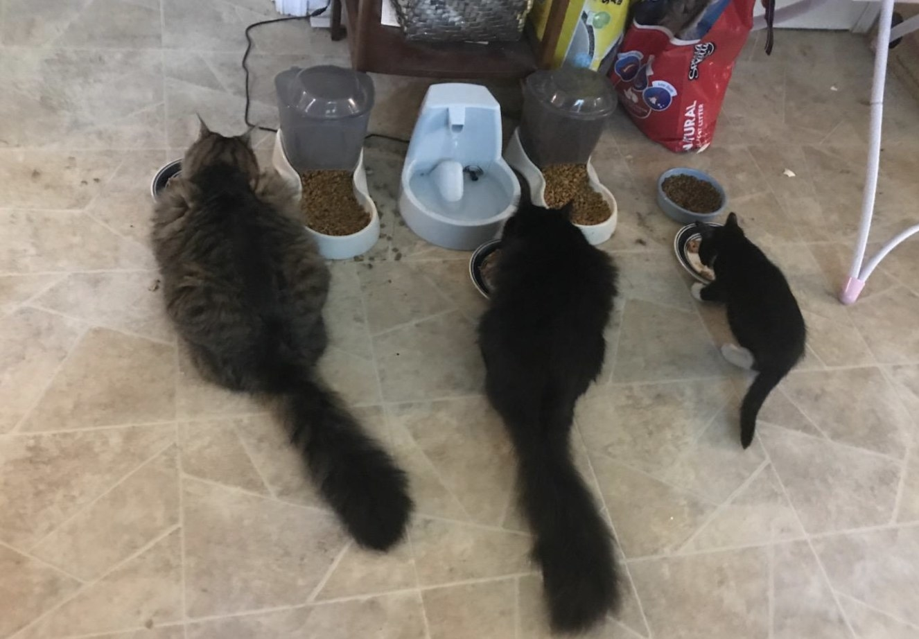 Three cats eating food next to two auto feeders