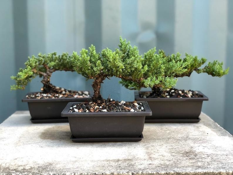 Three potted juniper bonsai trees sitting on a table