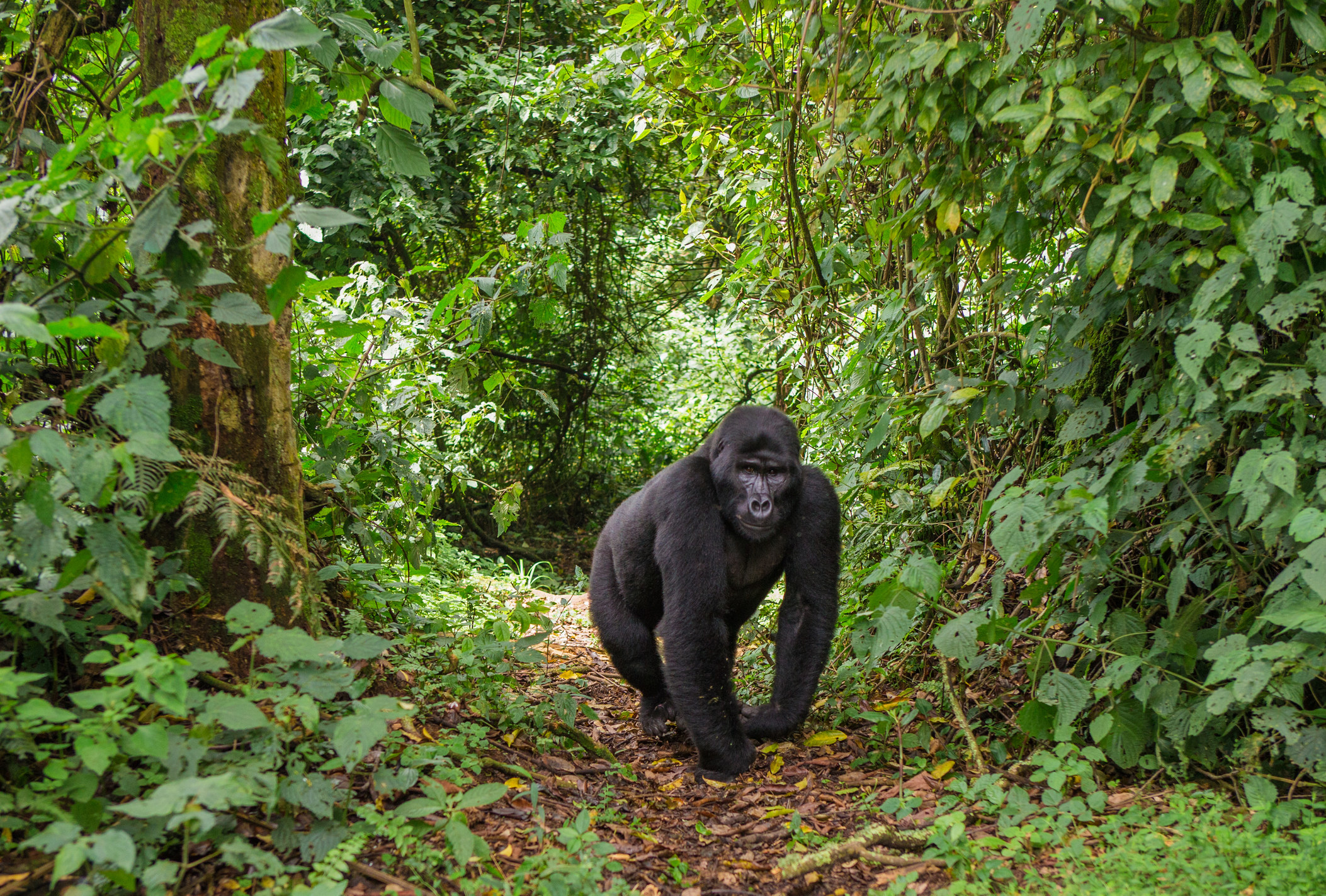 A huge gorilla on a path in the forest, surrounded by trees
