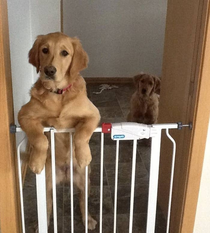 A golden retriever standing on their hind legs with their paws on a white gate