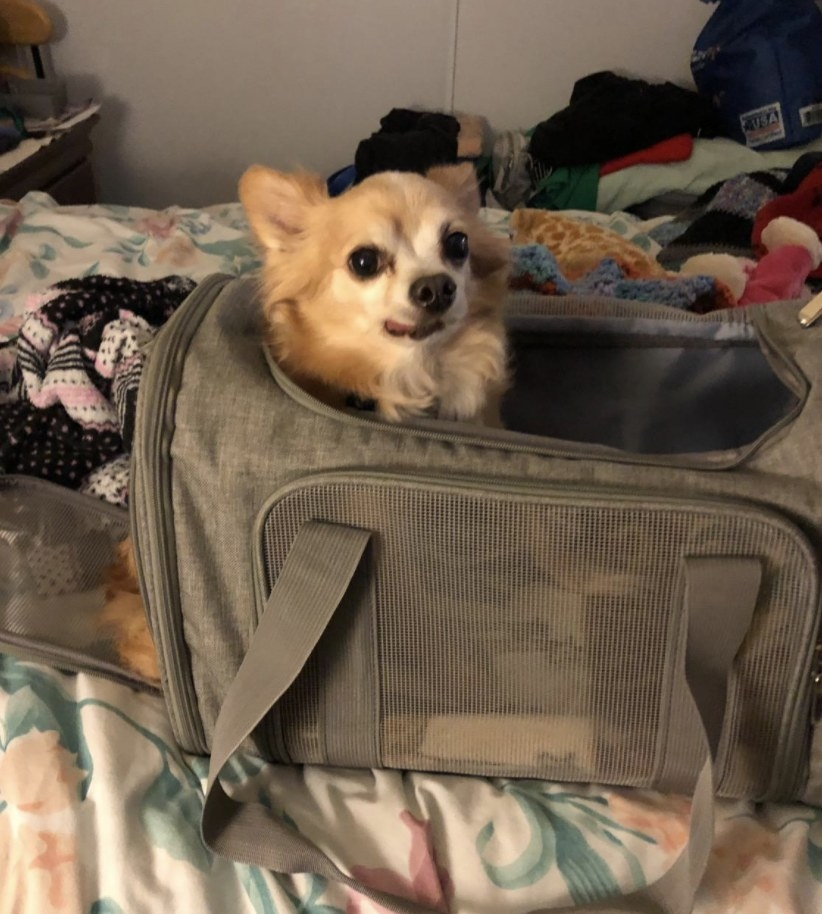 A small dog inside a collapsible carrier