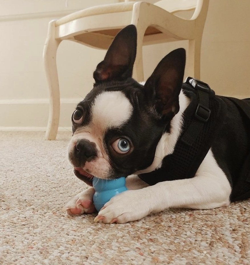A French bulldog chewing on a blue kong toy