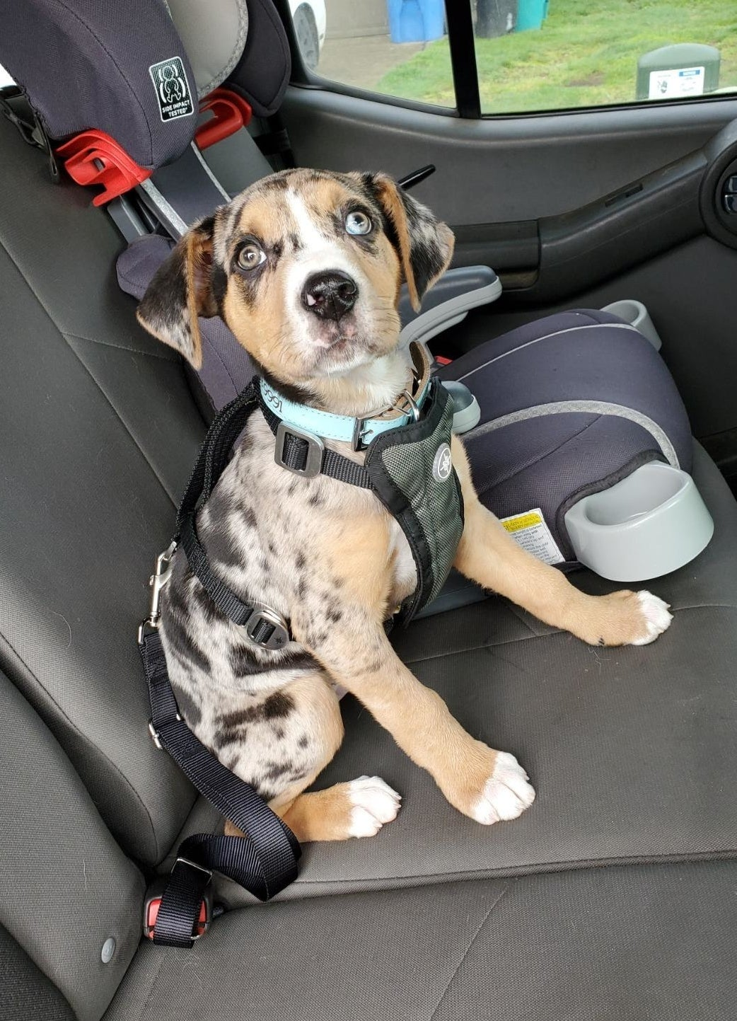 Reviewer pic of their puppy in the backseat of the car with the puppy seat bleted into the car