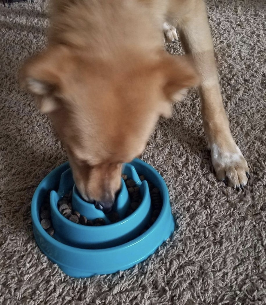 A dog is eating food out of a slow feeder