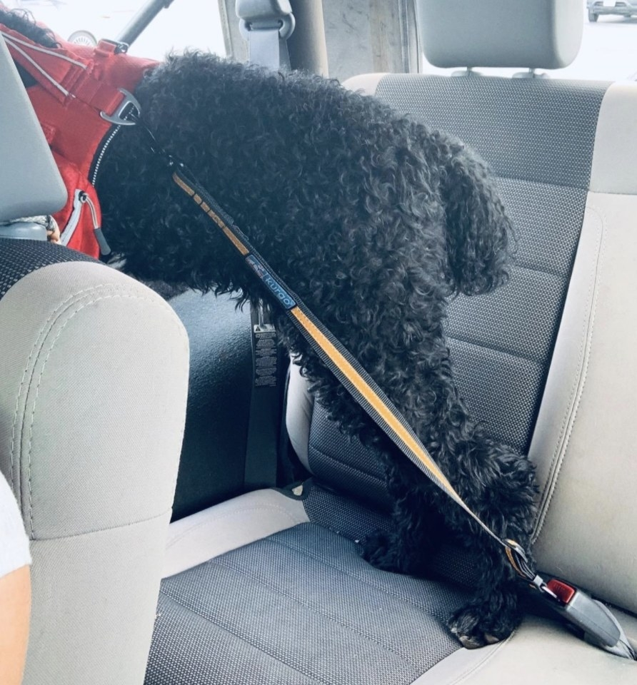 A black poodle in the backseat of a car tethered to a seat buckle