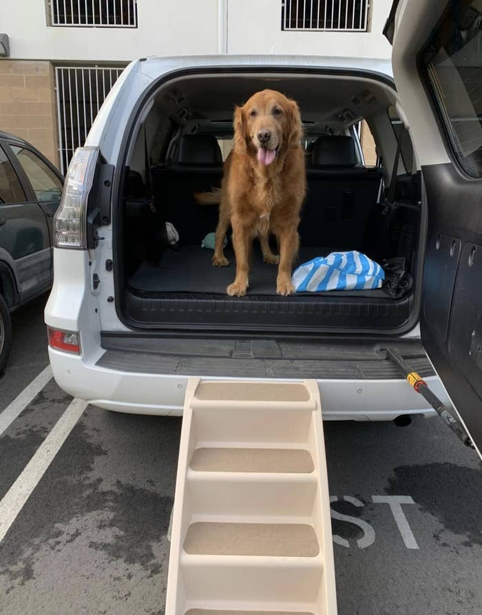 a golden lab in the trunk of a car with a beige set of steps to placed at the back of a car