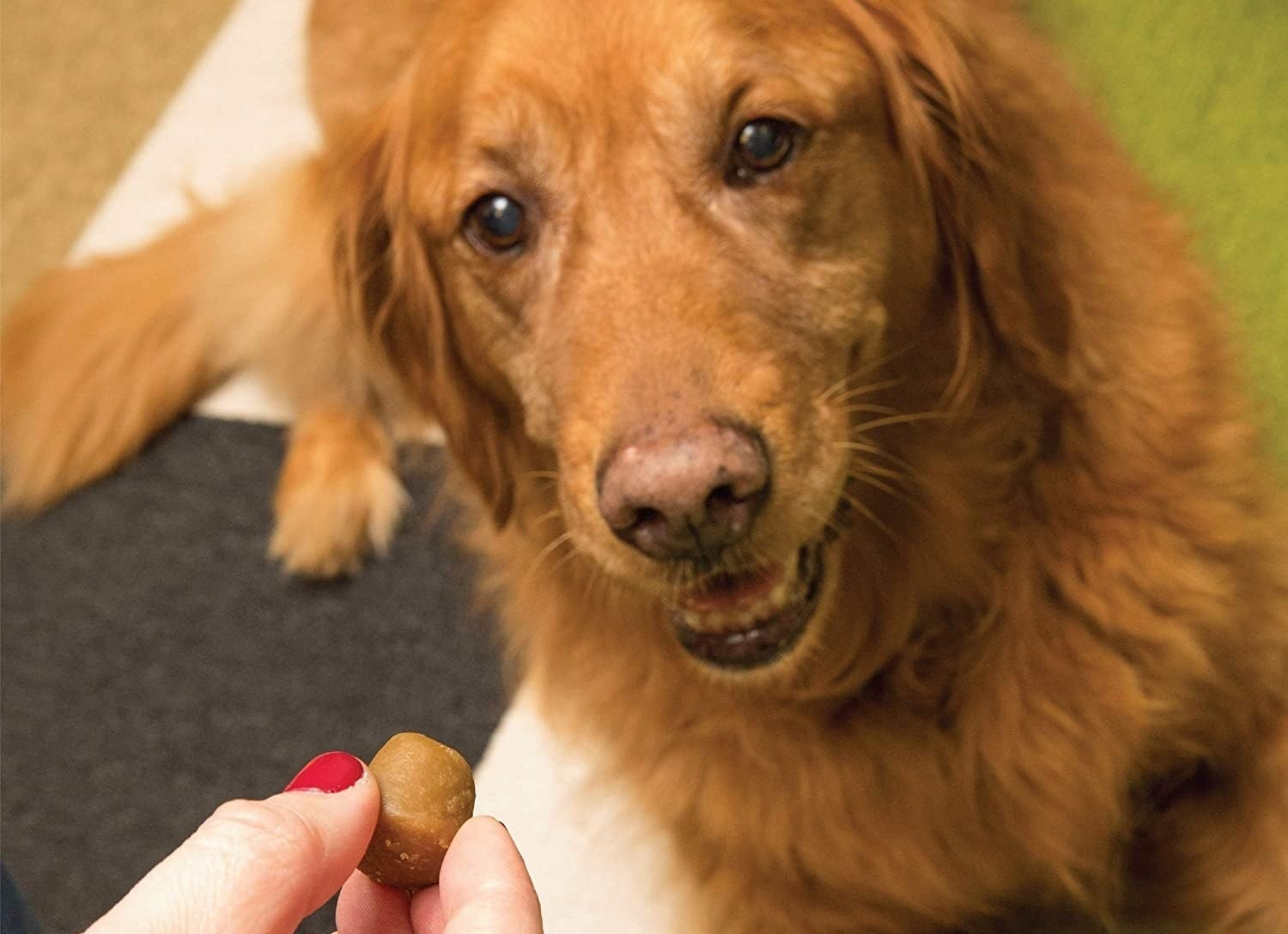 dog looking at a person holding up a greenies pill pocket