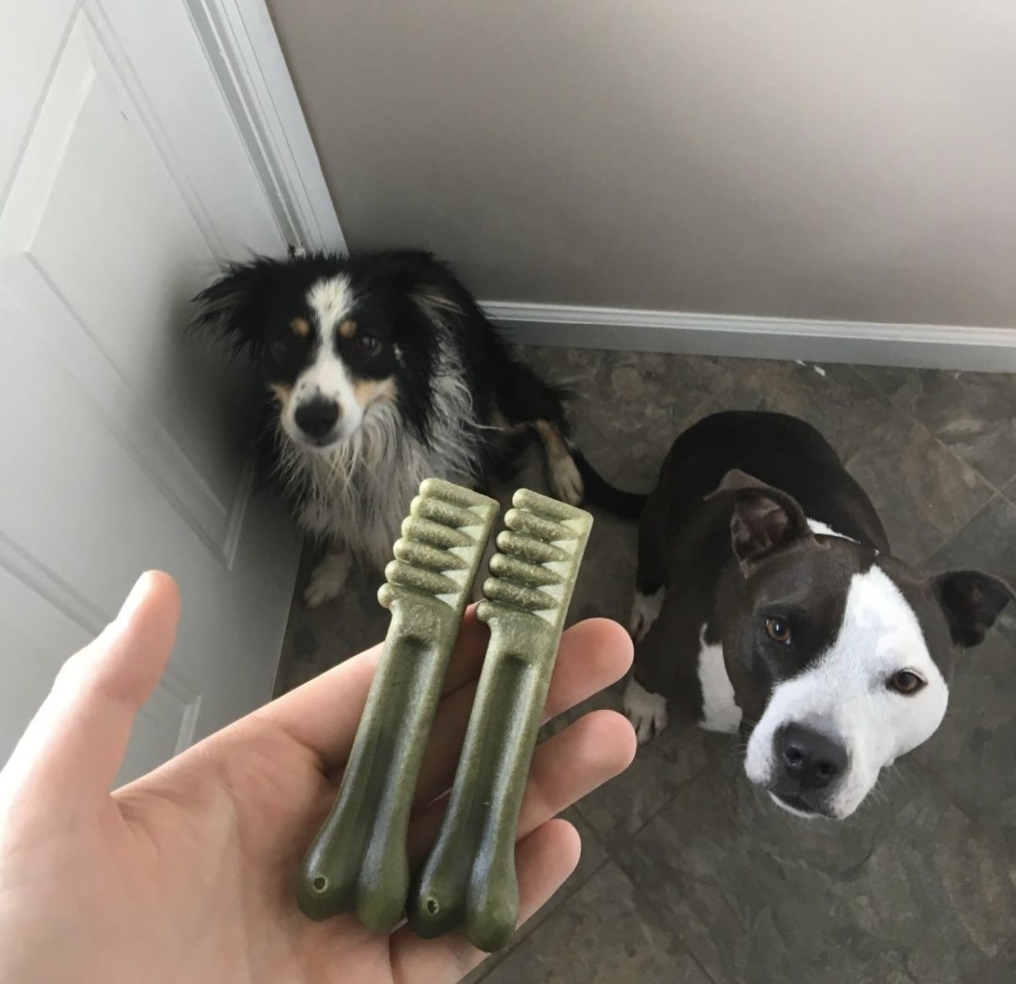 an owner holding two Greenies toothbrush-shaped treats in front of their two dogs
