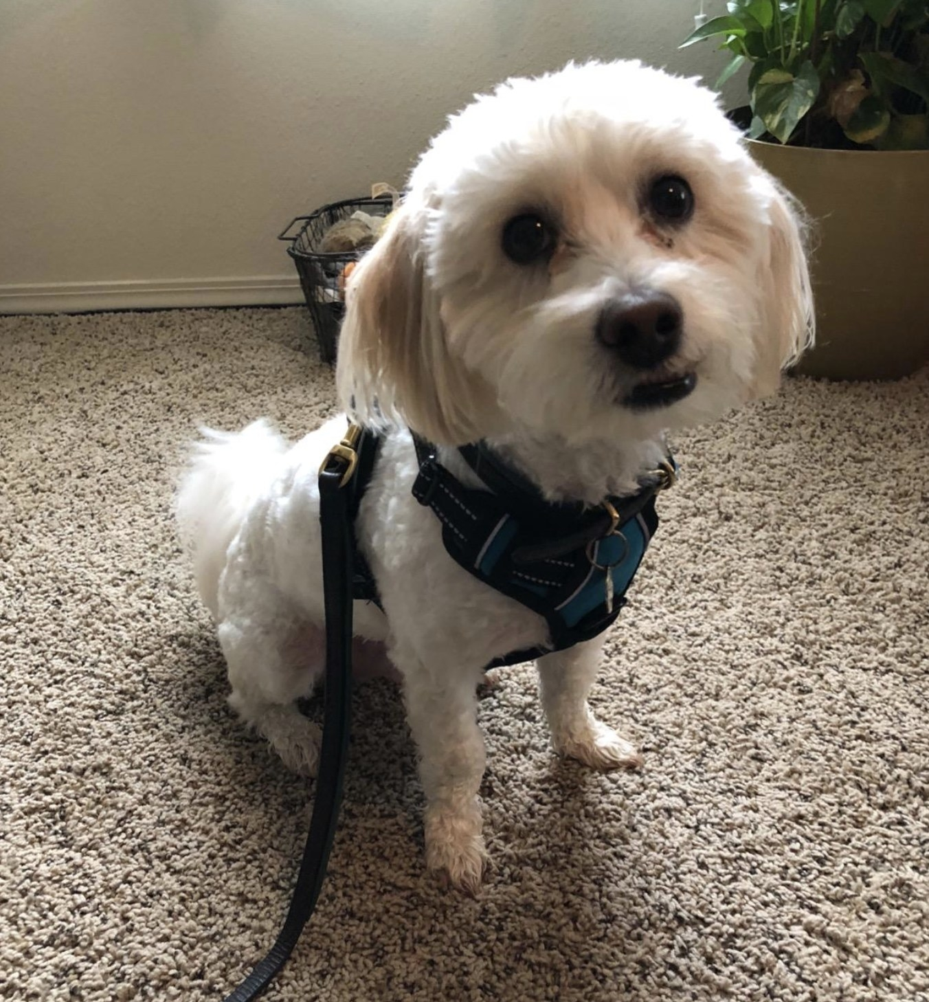 a havanese mix in a room with a harness on