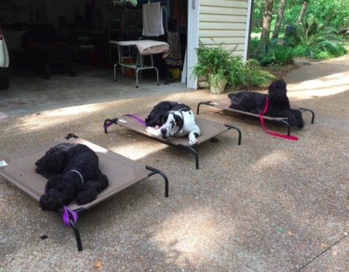 three dogs relaxing on elevated dog beds outside