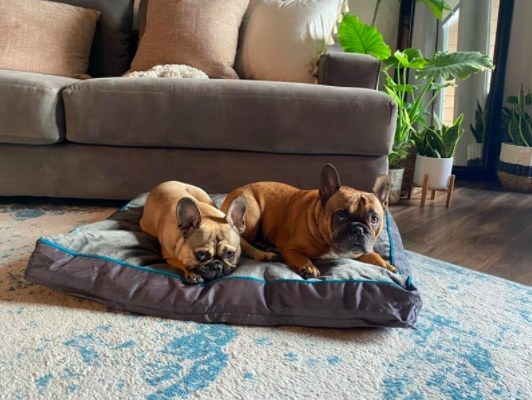 two french bulldogs sitting on a dog bed in the living room