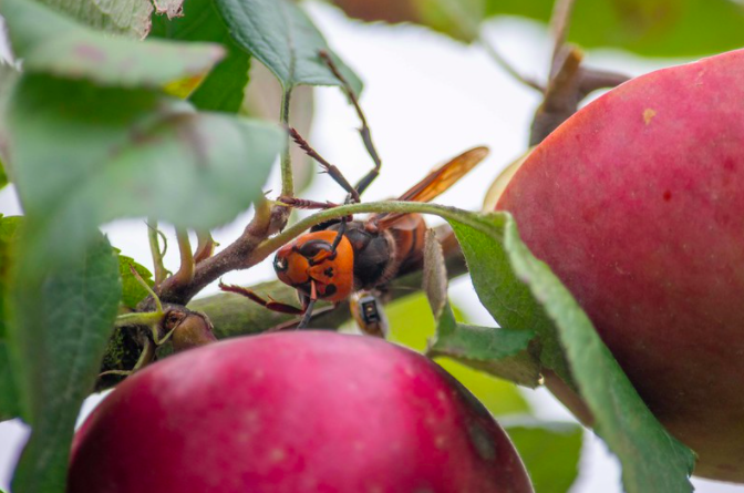 Murder hornet with tracker