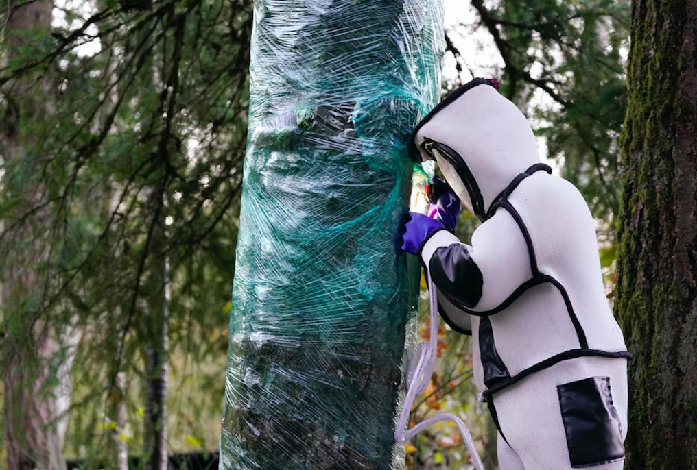 Scientist looks inside tree at murder hornet nest