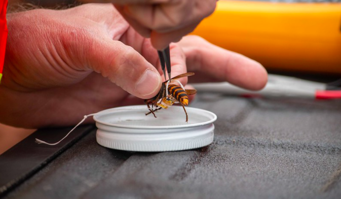 Hand attaching radio tracker to a murder hornet with dental floss