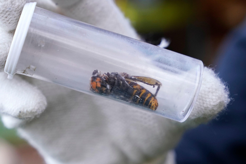 A dead murder hornet