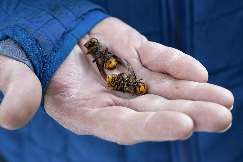 Dead murder hornets in a hand