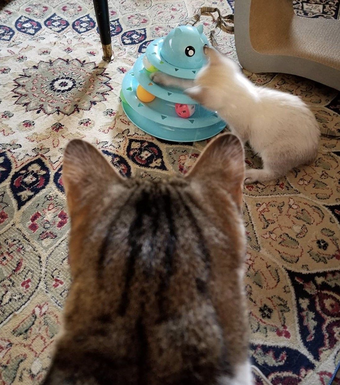 a striped cat looking at a white kitten plat with w triple tired blue cat toy