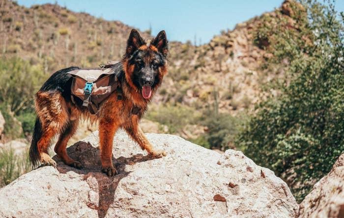 A German shepherd hiking while wearing the dog backpack