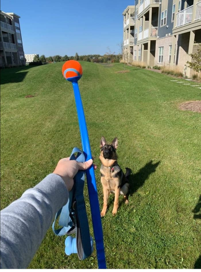 A German shepherd waiting for a ball to be thrown from the ball launcher