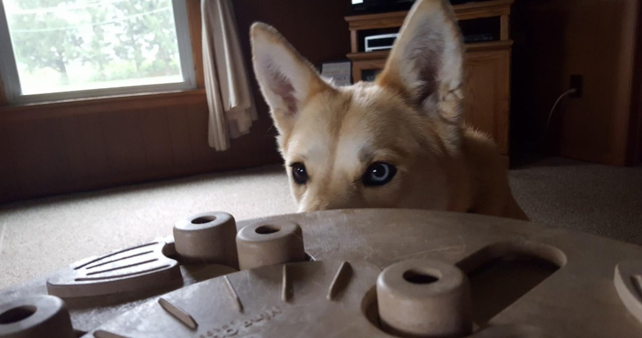A dog analyzing the dog puzzle
