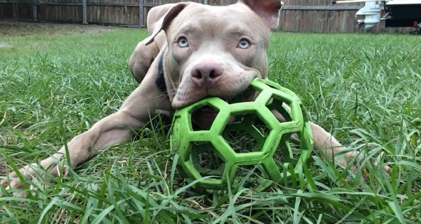A pit bull chewing on the treat ball