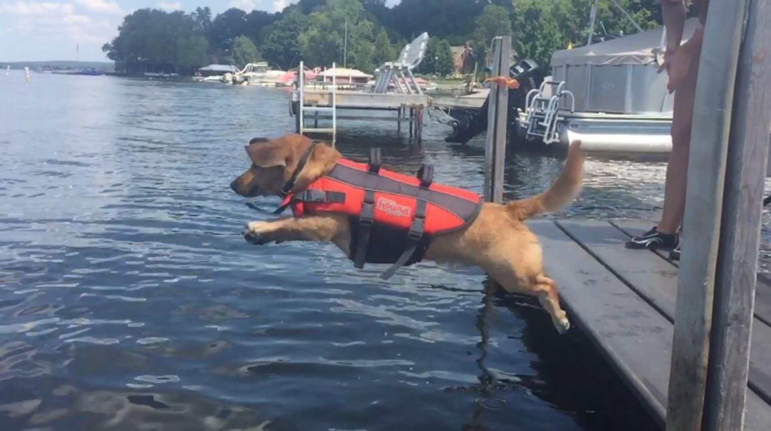 A dog jumping into a lake with the life jacket on