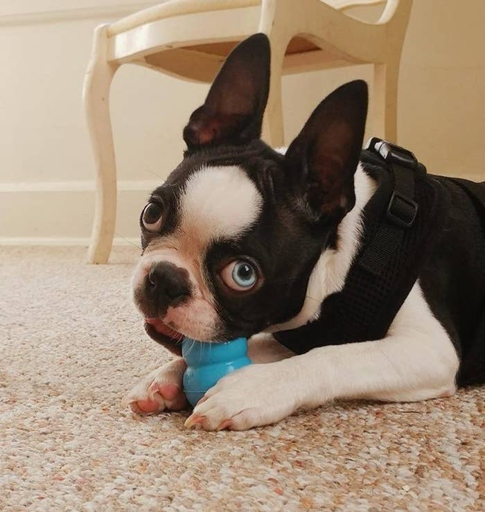 A dog chewing on the Kong toy