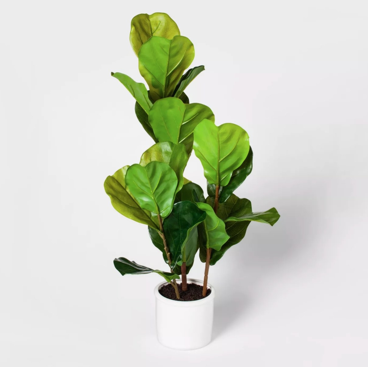 The fiddle leaf fig plant in a white planter