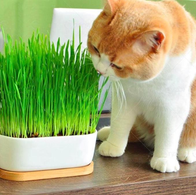 A close up of a cat eating fresh cat grass