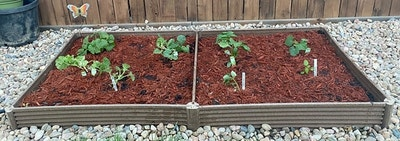 two square garden beds full of seedlings and mulch