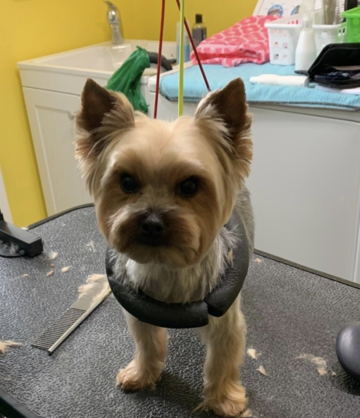 A small dog is hoisted into a dog grooming arm