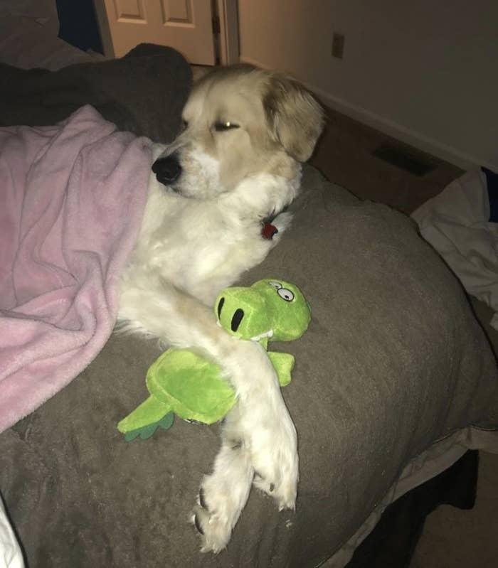 A dog cuddling with an alligator dog plush toy